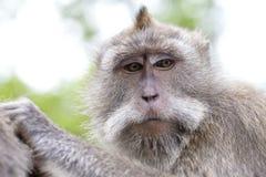 Porträtaffe am heiligen Affewald in Ubud, Insel Bali, Indonesien Lizenzfreie Stockfotos