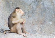 Porträtaffe (Schwein-angebundener Makaken) Stockfotografie