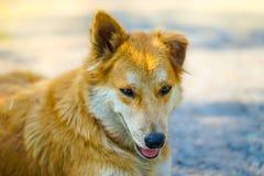 Porträtaufnahme des entzückenden jungen thailändischen braunen Hundes mit Sonnenlicht Lizenzfreie Stockfotografie