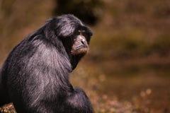 Porträtgesicht von siamang Gibbon gegen Unschärfehintergrund Lizenzfreie Stockbilder