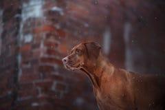 Porträthund Vizsla draußen auf einem Ziegelsteinhintergrund Lizenzfreie Stockfotografie