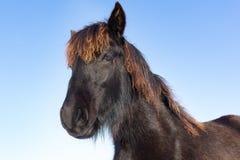 Porträtkopf des schwarzen Frisianpferds Lizenzfreie Stockfotografie