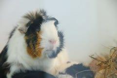 Porträtmeerschweinchen netter Haustierabschluß oben stockfotografie