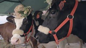 PorträtMilchkühe mit den Hüten, die an der landwirtschaftlichen Ausstellung stehen Hauptkuh lizenzfreie stockfotos