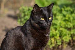 Porträtnahaufnahme der schwarzen Katze Stockbilder