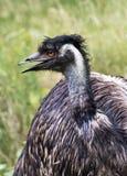 Porträtod-Emu Lizenzfreies Stockbild