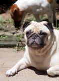 Porträts eines weißen Pug Stockfoto