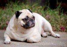 Porträts eines weißen Pug Stockbilder