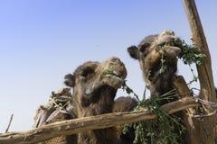 Porträts von 2 netten Kamelen, die Gras in der zentralen iranischen Wüste essen Lizenzfreies Stockfoto
