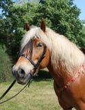 Porträts von Tieren - schöner Kopf eines Haflinger-Pferds an einem Bauernhof lizenzfreies stockbild