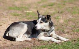 Porträtschwarzweiss-Schäferhund lizenzfreie stockfotos