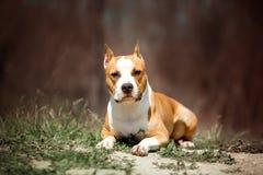 Porträtstaffordshire-Terrierhund Grüner Park auf Hintergrund stockbilder