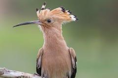 Porträtvögel mit büscheligem lizenzfreies stockfoto
