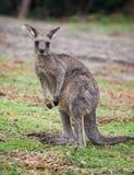 Portr?t der jungen netten australischen K?ngurustellung auf dem Gebiet und des Betrachtens der Kamera lizenzfreies stockbild