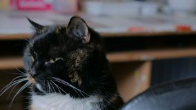 Portr?t der Katze stock video