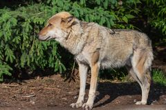 Portr?t der Nahaufnahme des grauen Wolfs stockfoto