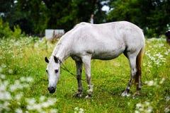 Portr?t des sch?nen Pferds im Sommer lizenzfreie stockfotografie