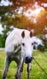 Portr?t des sch?nen Pferds im Sommer stockbilder