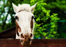 Portr?t des sch?nen Pferds im Sommer stockfoto