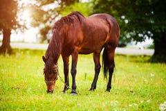 Portr?t des sch?nen Pferds im Sommer lizenzfreies stockfoto