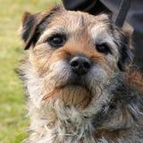 Portr?t eines Border Terriers lizenzfreie stockfotos