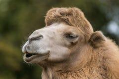 Portr?t eines l?chelnden Kamels stockfoto