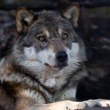Portr?t eines Wolfs stockfotos