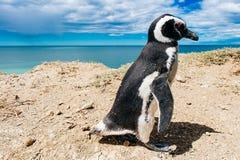 Portr?t Magellanic-Pinguinwohnung durch ihr Nest an den Felsen ?ber dem Strand stockfotos