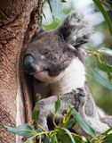 Portr?t-netter australischer Koala-B?r, der in einem Eukalyptusbaum sitzt und schl?ft K?nguruinsel lizenzfreies stockbild