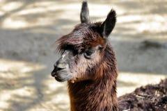 Portr?t von domestizierten Alpaka Vicugna pacos Spezies des s?damerikanischen camelid stockbilder