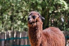 Portr?t von domestizierten Alpaka Vicugna pacos Spezies des s?damerikanischen camelid stockbild