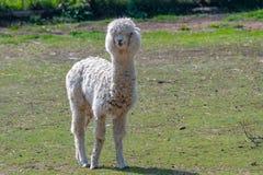 Portr?t von netten Alpaka oder Vicugna pacos lizenzfreies stockbild