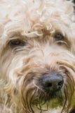 Portra bianco e marrone del terrier wheaten rivestito molle irlandese della pelliccia del cane fotografia stock