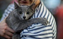 Portrai do gato azul do russo Imagens de Stock Royalty Free