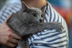 Portrai do gato azul do russo Imagens de Stock