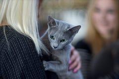 Portrai ruso del gato azul fotografía de archivo