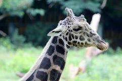 Portraiat av jiraffe Fotografering för Bildbyråer