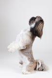 Portraif of a beautiful shih tzu dog Stock Photos