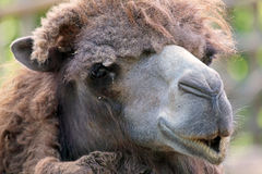 Portraif of a camel Stock Photography
