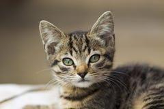 Portrain av den härliga allvarliga seende kattungen Arkivfoton