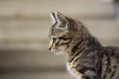 Portrain av den härliga allvarliga seende kattungen Royaltyfri Foto