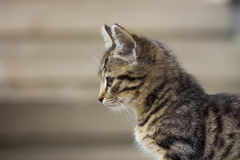 Portrain of beautiful serious looking kitten Royalty Free Stock Photo