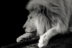 Black and white Portrait of a lion stock photos
