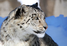 Portrair del leopardo de nieve Foto de archivo libre de regalías