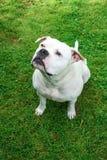 Portrair des weißen Staffordshire-Bullterrierhundes, der auf dem Gras und der Wartefestlichkeit sitzt stockbild