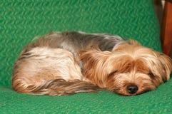 Portrair do cão do sono Imagem de Stock