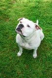 Portrair of White staffordshire bull-terrier dog sitting on the grass and waiting for treat stock image
