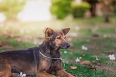 Portrait étonnant de jeune chien pendant le coucher du soleil se reposant dans l'herbe dessus Photos stock