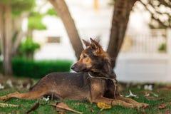 Portrait étonnant de jeune chien pendant le coucher du soleil se reposant dans l'herbe dessus Images libres de droits