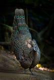 Portrait étroit de Grey Peacock-Pheasant rare masculin images stock